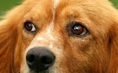 Irritated Eyes in Dogs - Causes, Symptoms, and Treatment