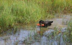 Cani da riporto a terra e in acqua: come e quando addestrarli