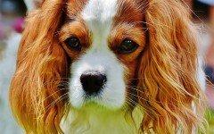 Alimentazione del cane Cavalier King, la dieta corretta