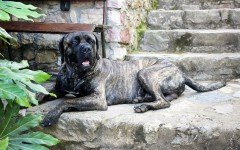 Cane Corso Tigrato: variante particolare di un cane eccezionale