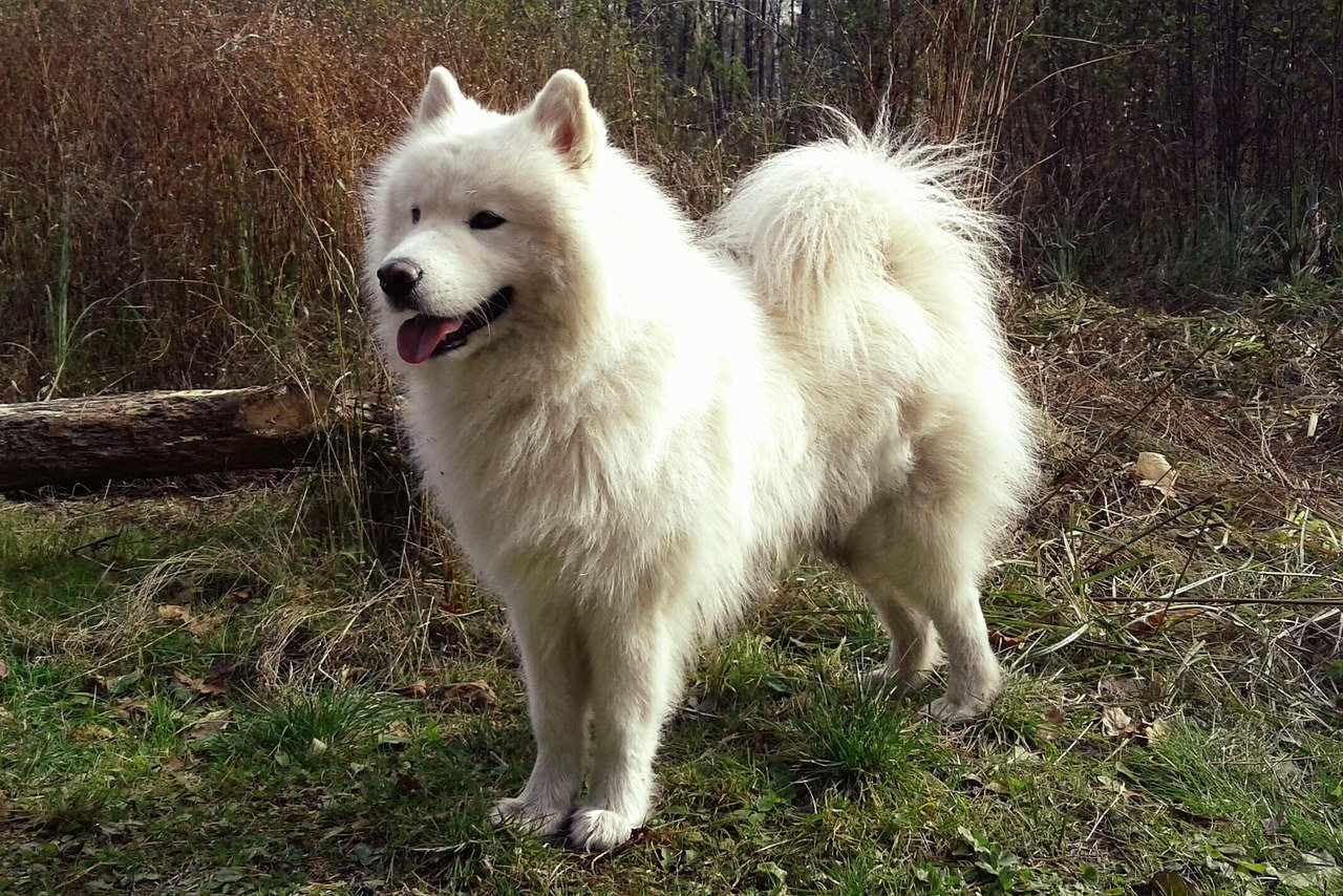 Dog breed: American Eskimo Dog temperament and personality