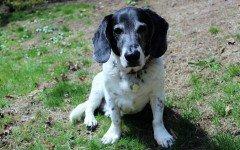 Il diabete mellito del cane le cause, la diagnosi e la terapia