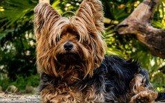 Collasso tracheale nel cane, la causa e la cura