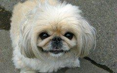 Alimentazione del cane Pechinese: gli alimenti corretti