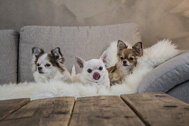 Cani piccoli e cani di piccola taglia a pelo corto