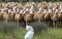Come addestrare un cane con le pecore in un gregge
