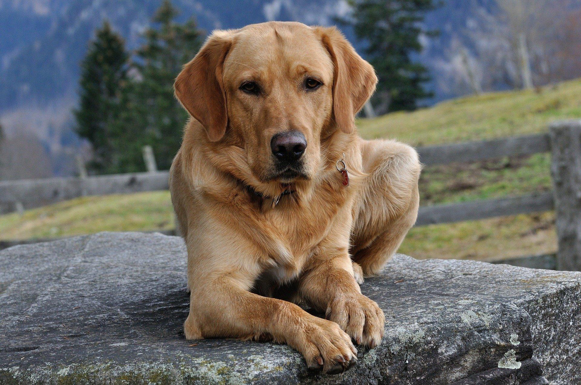 L' alimentazione del cane Labrador: la dieta