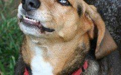Come educare un cane aggressivo e un cane che ringhia
