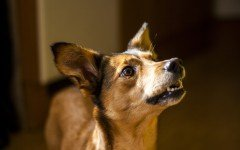 Dog disease: Taenia Tapeworms in Dogs