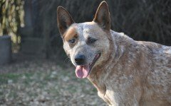 Dog breed: Australian Cattle Dog temperament and personality