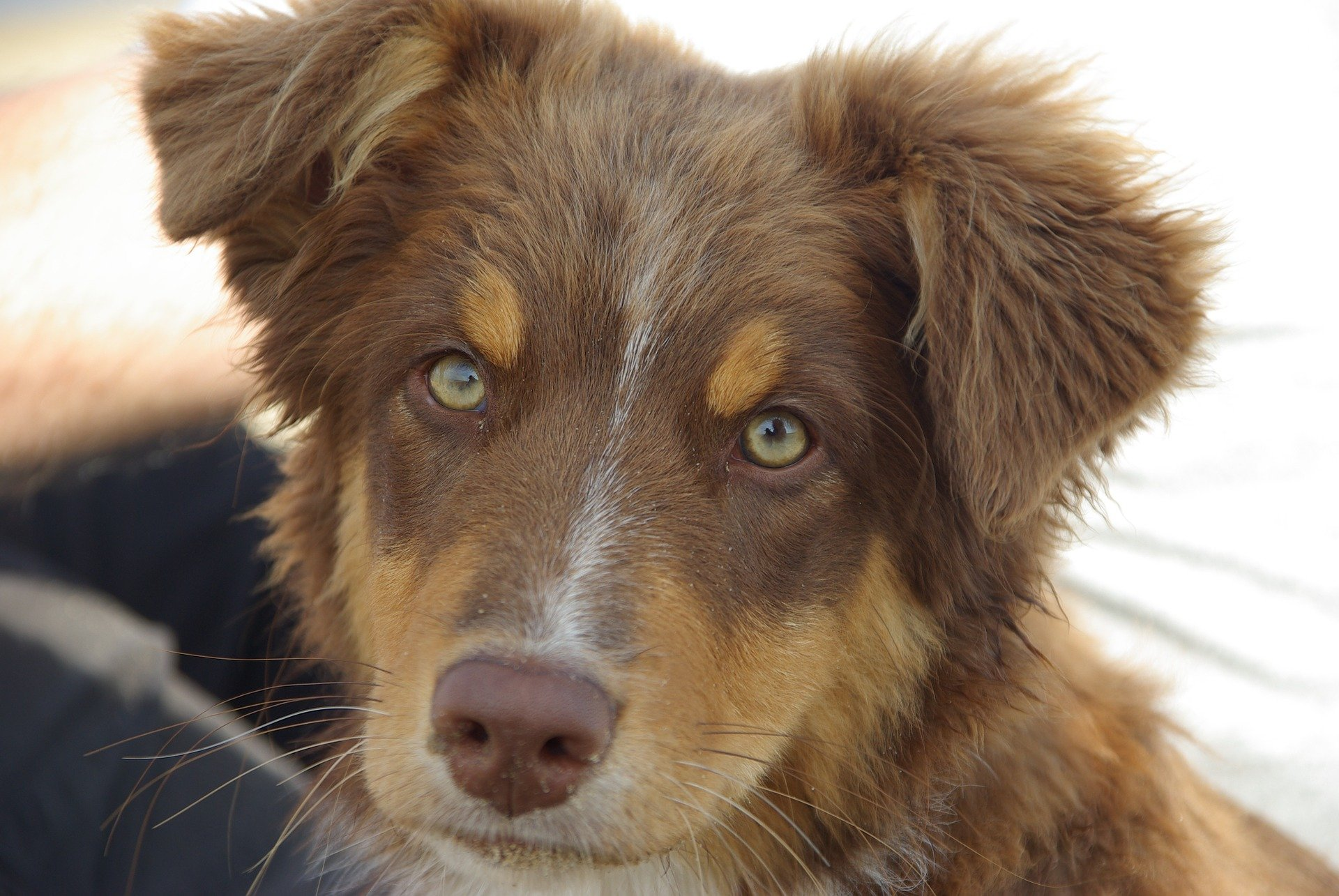 Dog breeds: Australian Shepherd Dog, personality