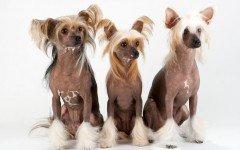 Razas de Perros: Perro Crestado Chino caracteristicas