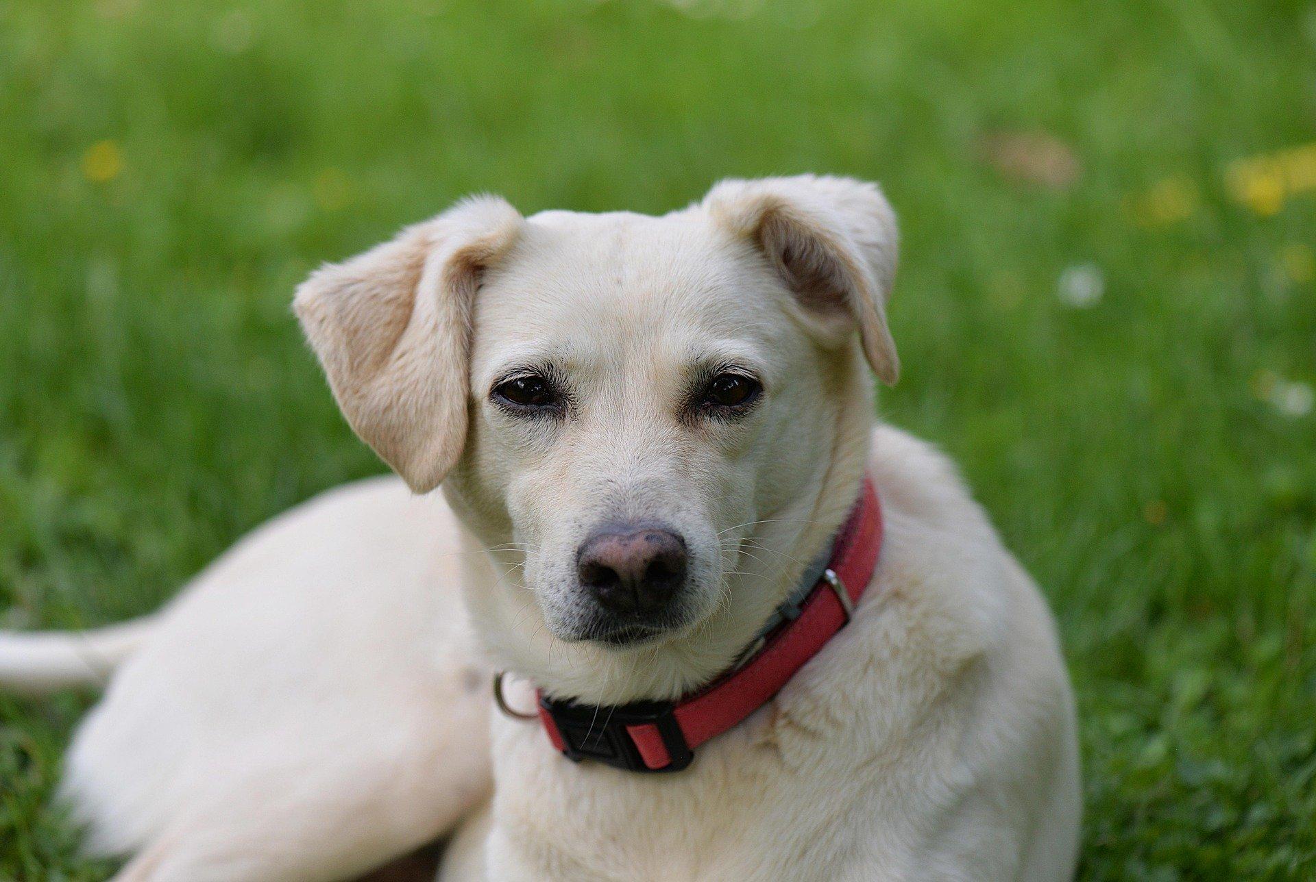 Gravidanza isterica del cane: sintomi e caratteristiche