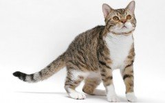 gato american wirehair