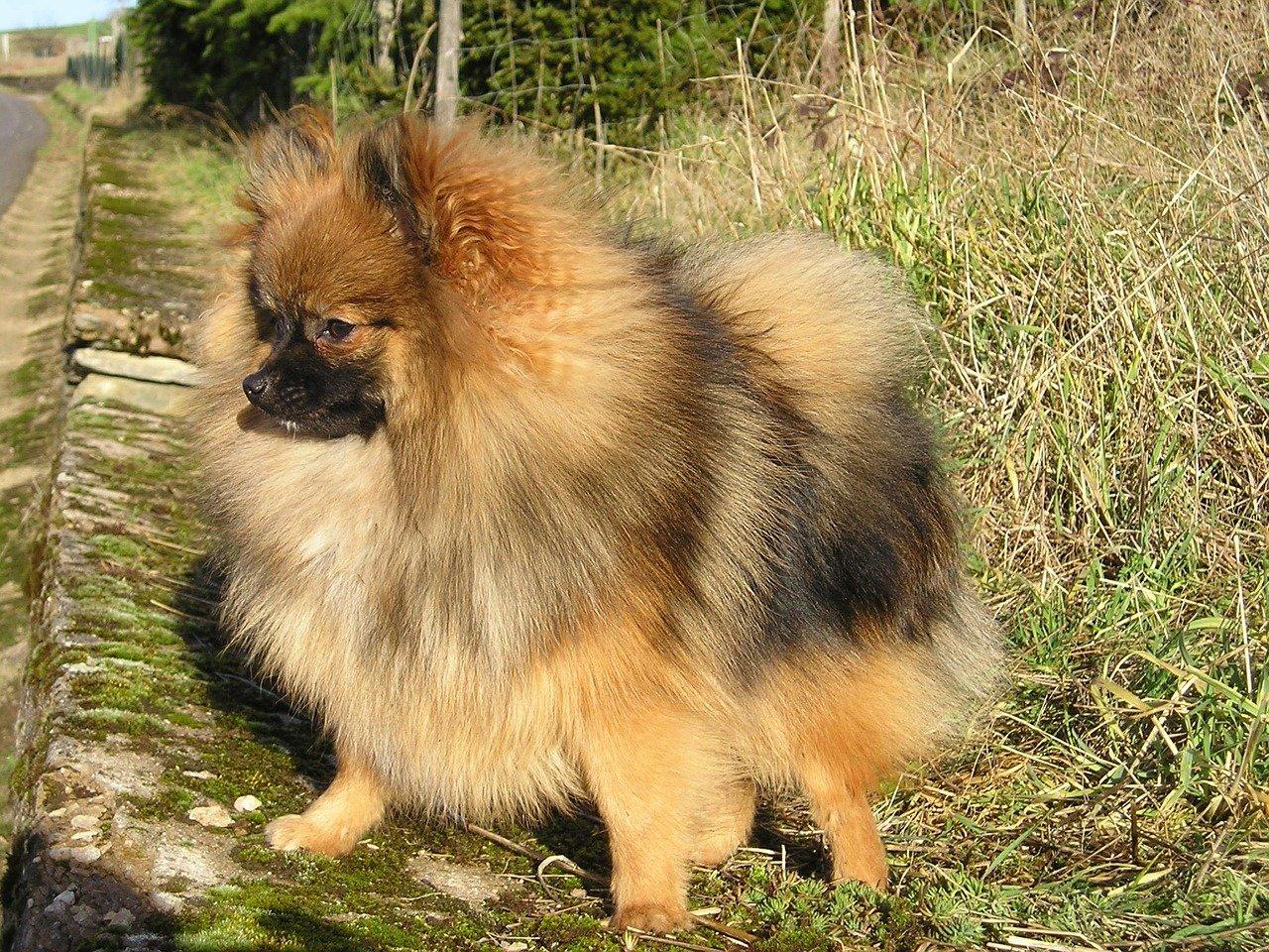 Cura del pelo del cane spitz: la spazzolatura e il bagno
