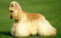 Razas de Perros: perro Cocker Spaniel Americano caracteristicas