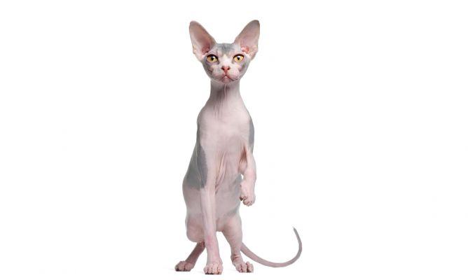 Razas Felinas: Gato Don Sphynx carácter y características