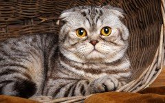Razas Felinas: Gato FoldEx carácter y características
