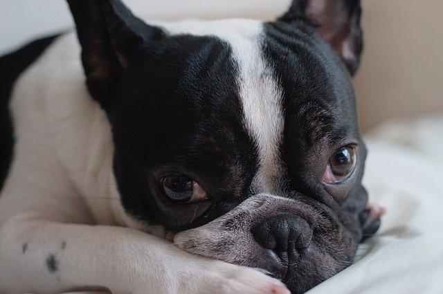 Malattie del cane: idrocefalo nel cane, sintomi e cause