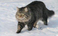 Razas Felinas: Gato aleman de pelo largo carácter