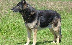 Pastore tedesco: le origini del cane lupo