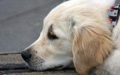 La cistinuria del cane, i sintomi e il trattamento della malattia