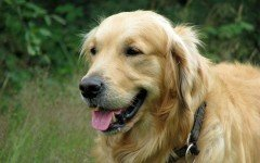 Dog disease: Leptospirosis in Dogs Symptoms and Treatment