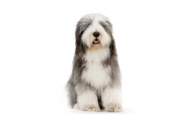 Razas de Perros: perro Collie Barbudo características y cuidados