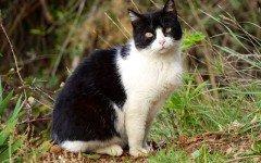 Razas Felinas: Gato europeo bicolor carácter y carácteristicas