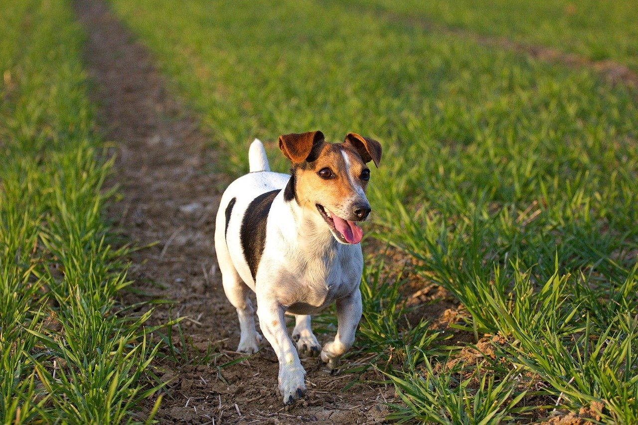 Alimentazione del cane Jack Russel: dieta adeguata