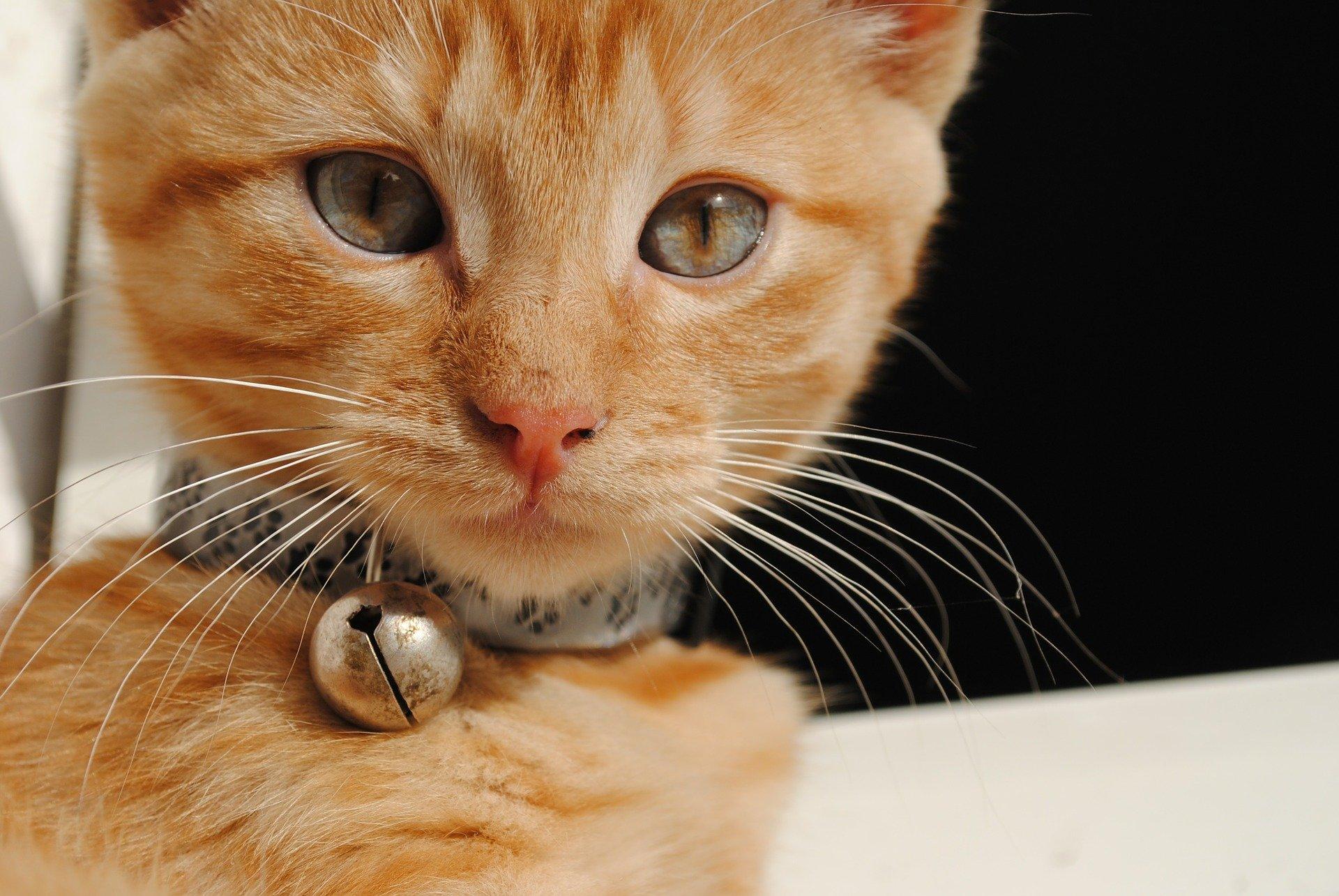Collari per gatti: come sceglierlo e le caratteristiche