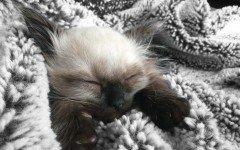 Il gatto Ragdoll: le caratteristiche e il prezzo