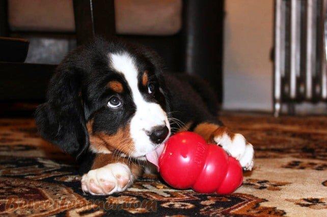 Kong per cani: questo curioso oggetto educativo