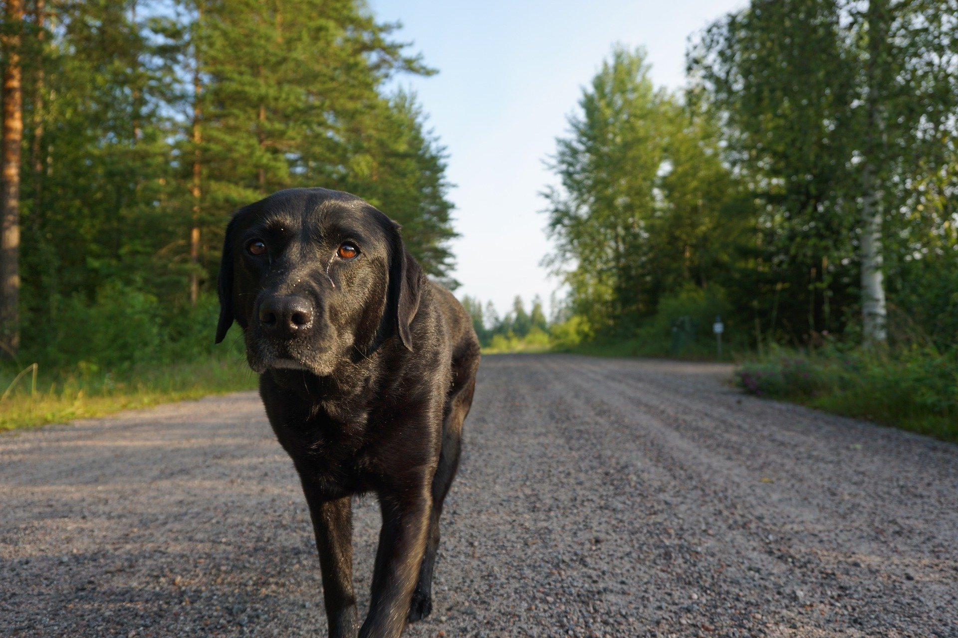Dog disease: Hip Dysplasia in Dogs, causes and treatment