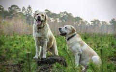 Cani abbaiano troppo: reato per il padrone