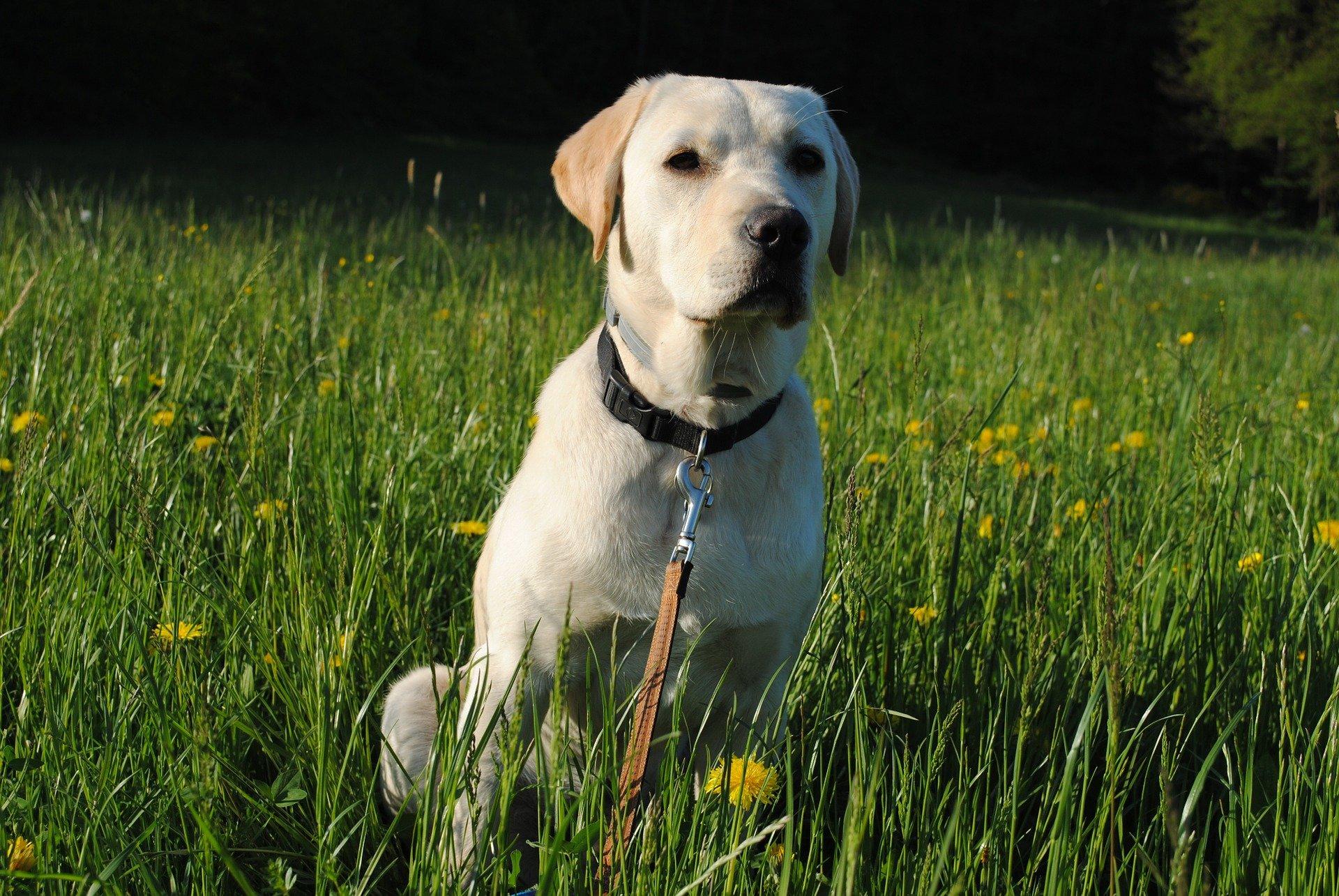 Origini del cane Labrador Retriever: un po' di storia