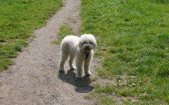 Alimentazione del cane Lagotto: la dieta ideale