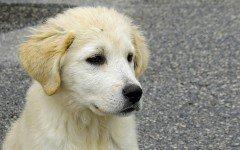Alimentazione del cane maremmano: la sua dieta
