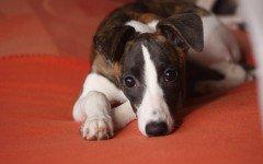 Malattia al fegato del cane le cause e le più frequenti