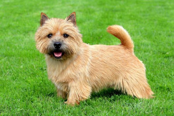 Razas de Perros: perro Terrier de Nordfolk características y cuidados