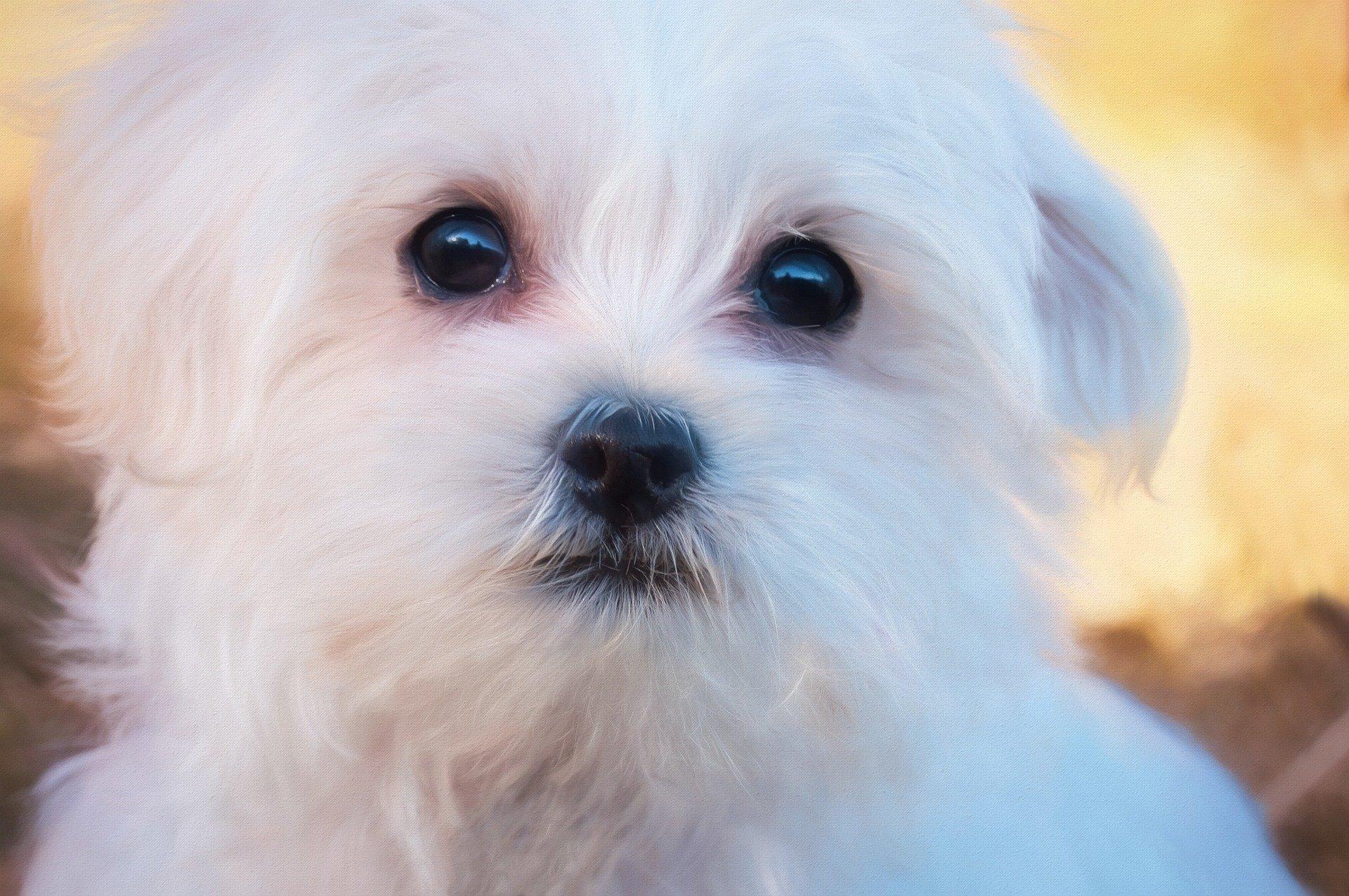 Cura degli occhi del cane maltese, come agire