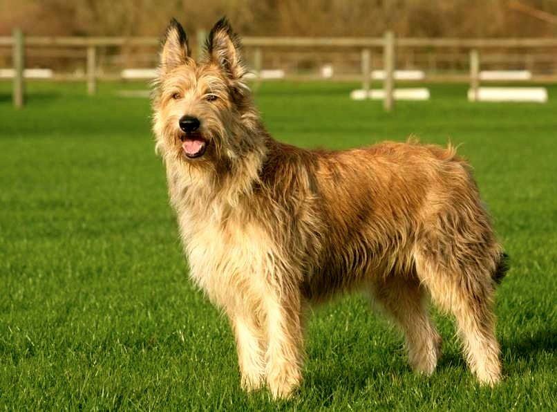 perro pastor de picardia