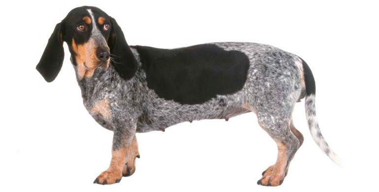 perro Basset azul de Gascuña