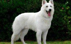 Razas de perros: perro Pastor Blanco Suizo carácter y cuidados
