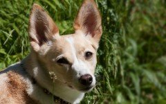 Dog disease: Otitis in Dogs - Causes, Symptoms and Treatment