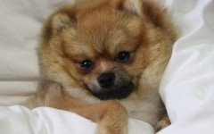 Dog disease: Glaucoma in Dogs symptoms and treatment