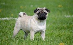 Vermi nel cane: come infestano l'animale?