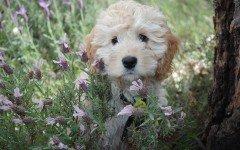 Balanite del cane: la cura, i sintomi e i rimedi