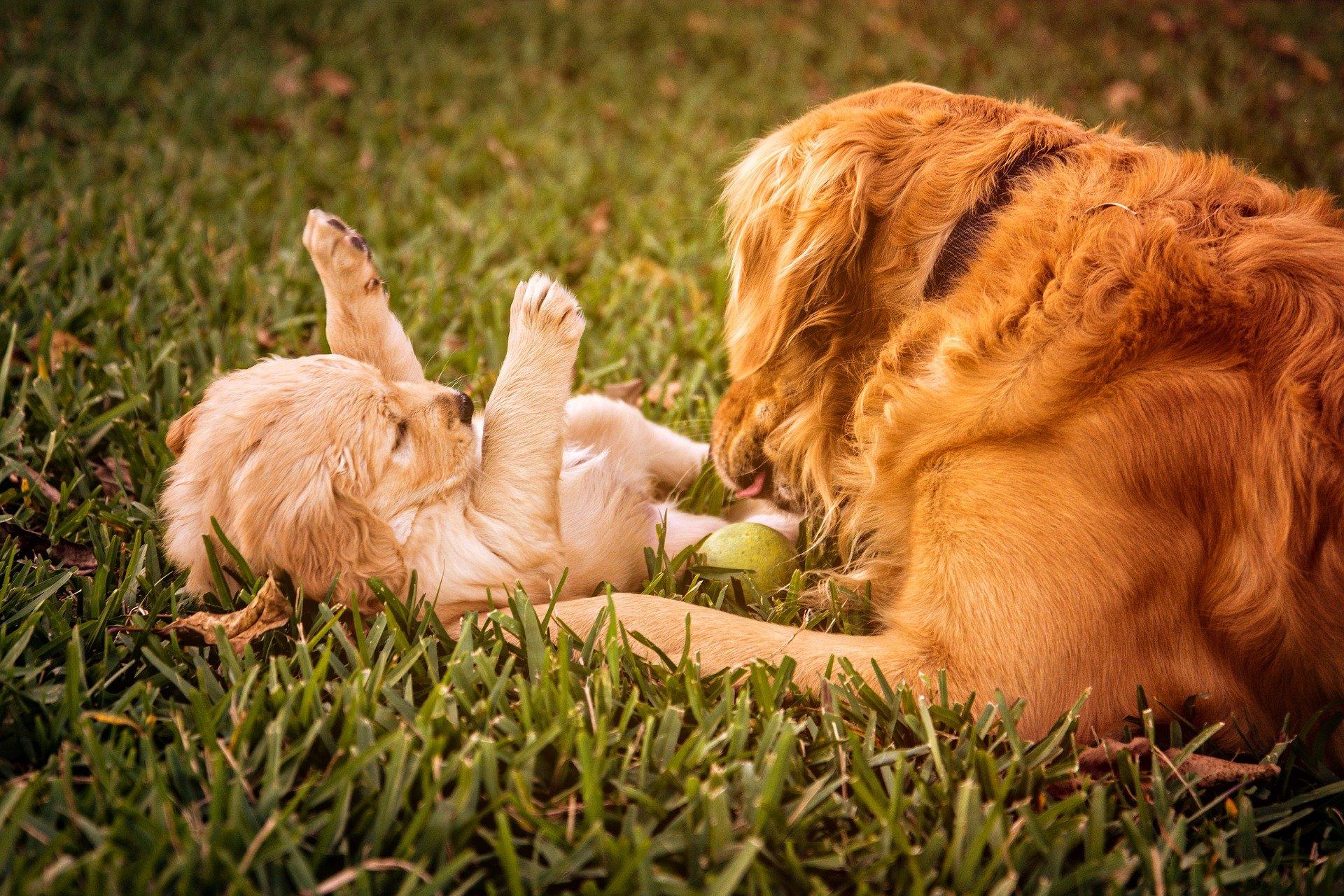 L' alimentazione del cane dopo il parto e in allattamento