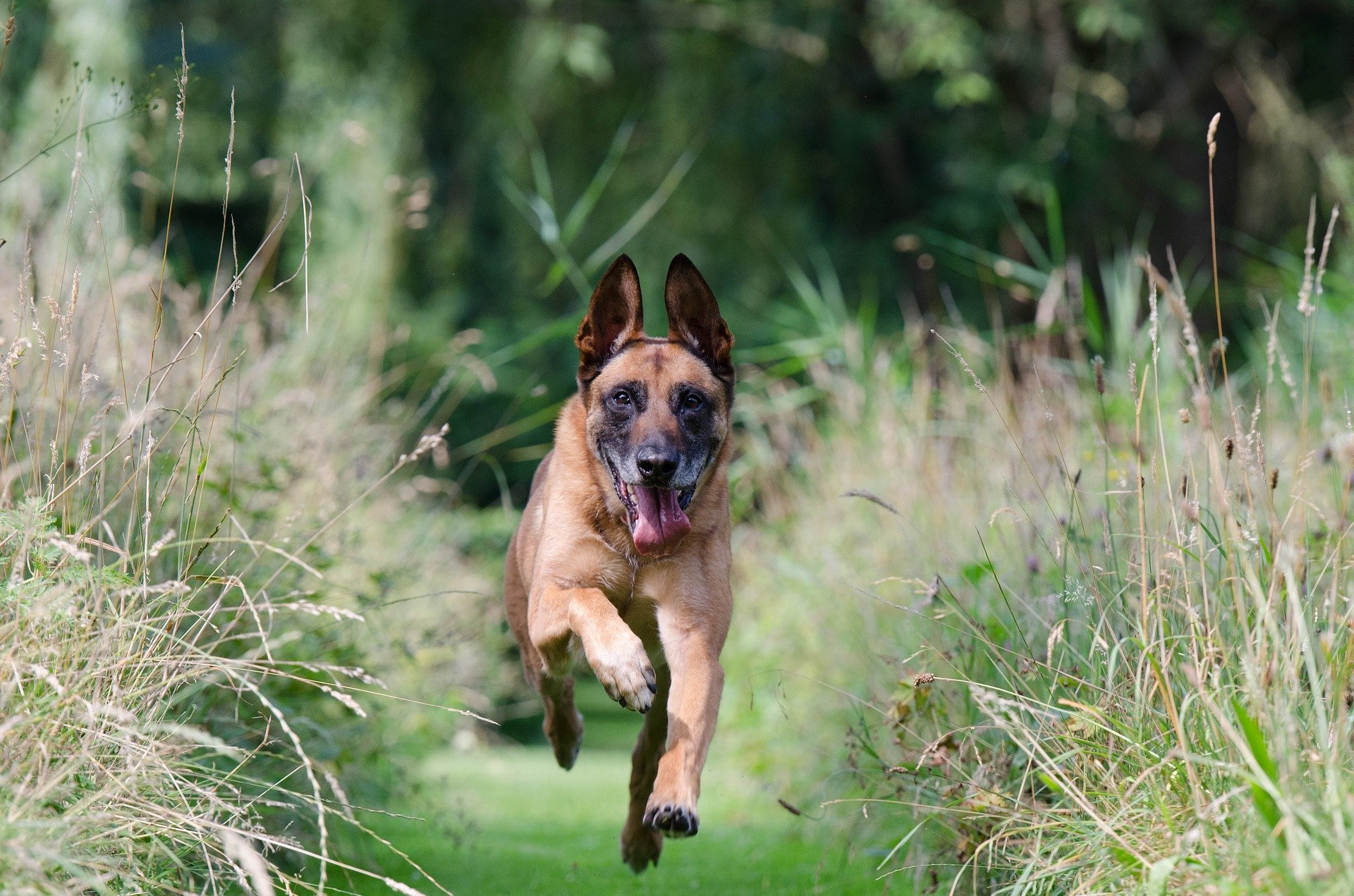 Dog breeds: Belgian Malinois dog, origin and personality